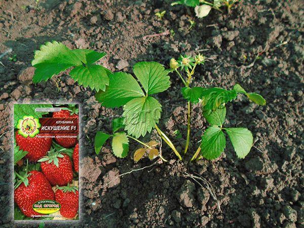 Из семян клубнику Искушение вырастить можно, но нужно покупать фирменные семена