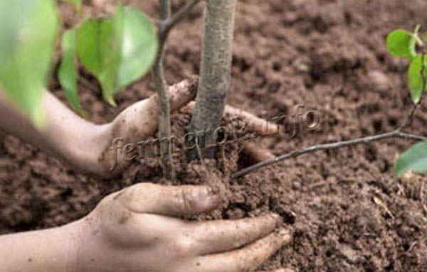 Когда яма засыпана, у основания дерева – корневой шейки делается небольшой холмик