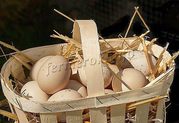 Курица за год дает в среднем 300-320 яиц высокого качества