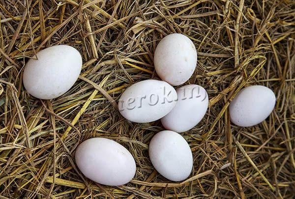 Несушка в год способна давать 200-245 яиц высокого качества