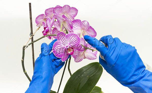 Опрыскивание для орхидей полезно, если проводить его не часто