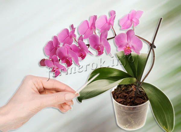 Понять, что орхидее необходима вода, можно с помощью зубочистки