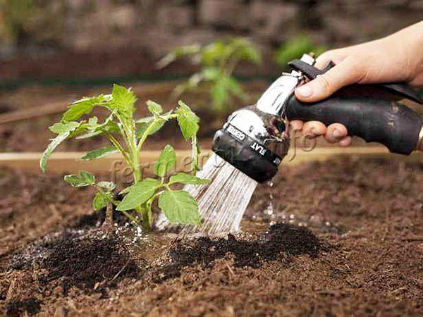 После посадки землю поливают и уплотняют