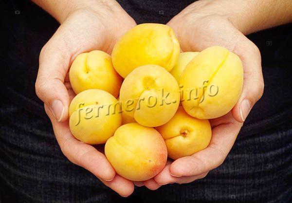 С гектара посадок можно собрать до 124 центнеров плодов