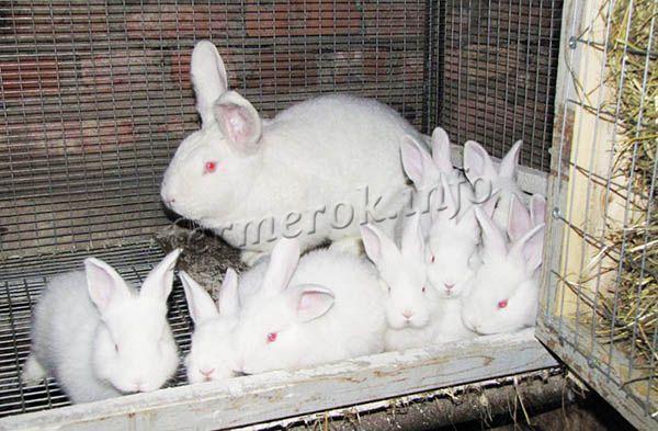Самки в одном помете дают до 12 крольчат, но чаще всего 8-10