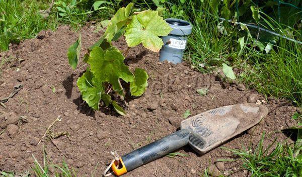 Сажать сорт винограда Лора нужно только на солнечном участке