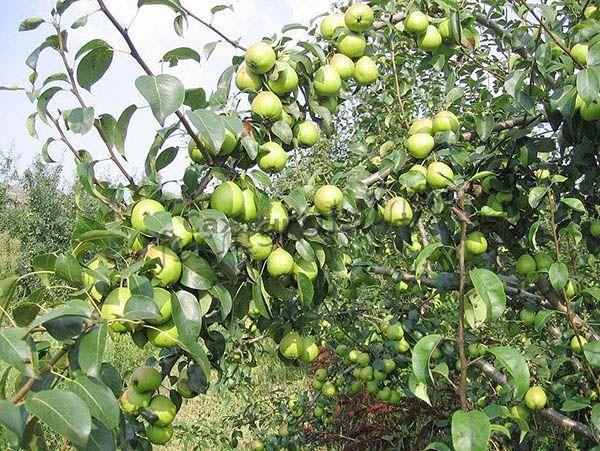 Со взрослого дерева за сезон можно собрать до 70 кг груш