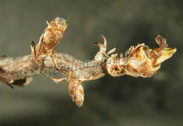 Своевременная обрезка пораженных побегов предотвратит полную потерю урожая