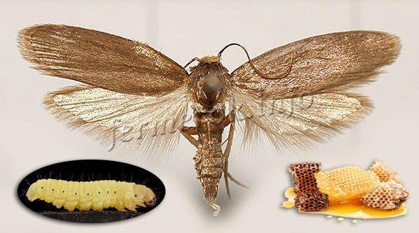 Целебные качества пчелиной огневки были известны еще древним египтянам