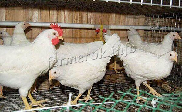 Цыплята полноценно развиваются только при условии, что их правильно кормят