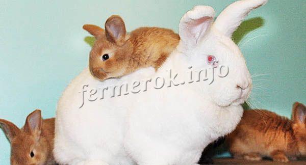 У НЗБ спокойный характер, они не агрессивны. В одном крольчатнике можно держать и другие породы