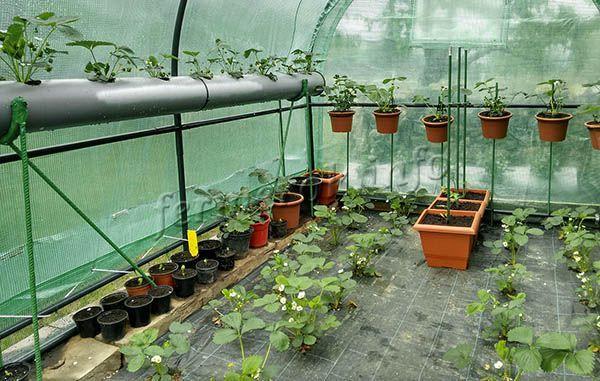 Удобней всего выращивать в подвесных кашпо, на балконе, в теплицах или просто в ящиках
