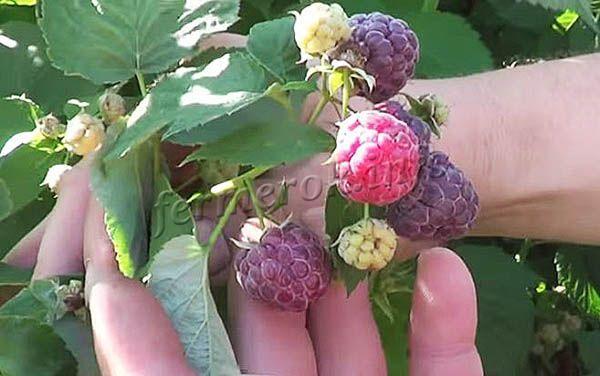 Урожайность высокая – 6 кг с куста