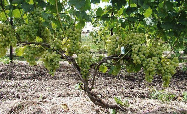 Уже на второй год нужно начать формировать куст винограда