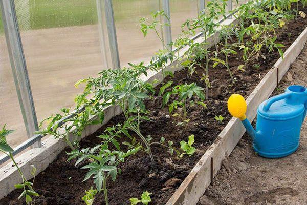 Выращивать томаты Петруша огородник можно в открытом или закрытом грунте