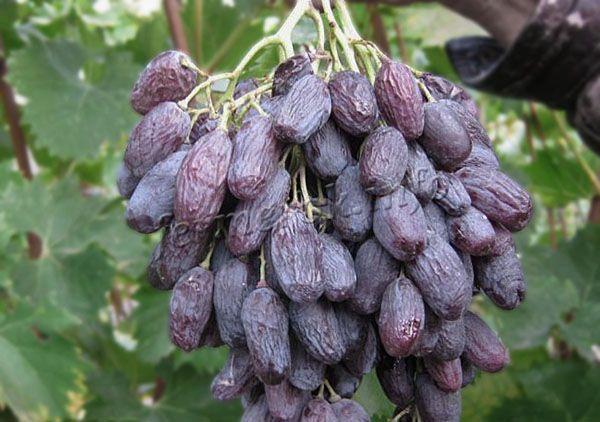 Если спелые грозди передержать на ветках, они начинают постепенно высыхать и становиться изюмом