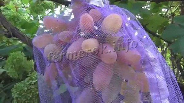 Каждую гроздь стоит закрыть защитной сеткой, иначе ягоды могут повредить птицы или осы