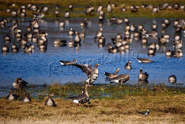 Нередко белолобого гуся находят вблизи с реками, водоемами, около зон с обильной растительностью