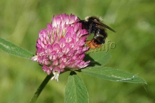 Пчелы собирают пыльцу розового, красного и белого клевера