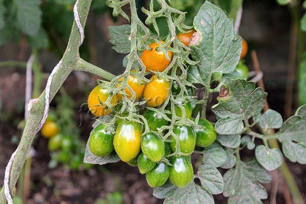 Плоды созревают в несколько этапов, и превосходно хранятся на растениях до сбора