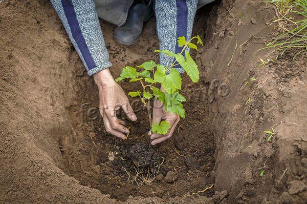 Посадить виноград Джованни можно весной или осенью