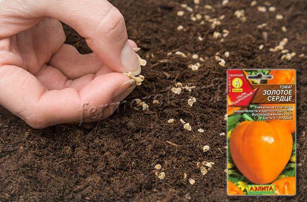 Посадка томатов Золотое сердце семенами