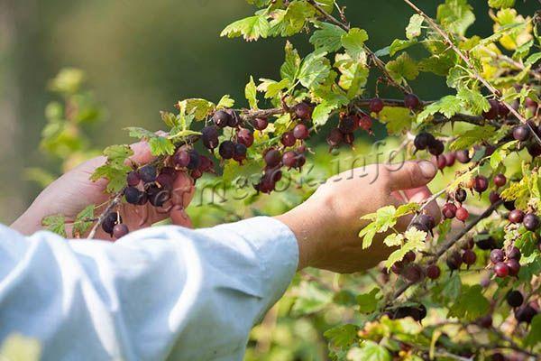 Со взрослого куста можно собрать до 3 ведер ягод!