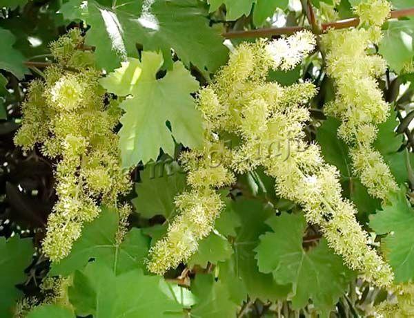 Цветы винограда Джованни обоеполые