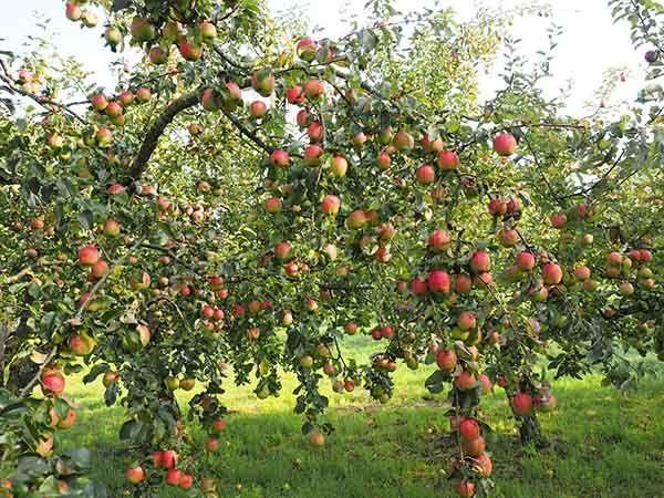 Урожайность с одного дерева 100 кг