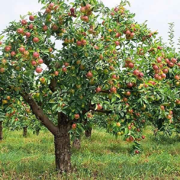 Яблоня Фуджи растет очень высокой, до 9 метров, если не контролировать ее рост