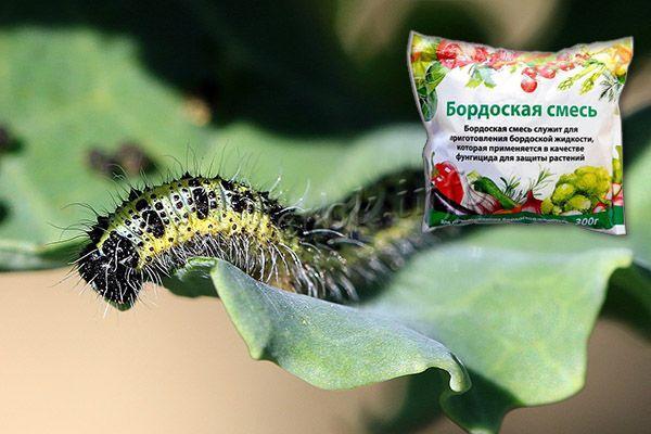 Бабочка не любит обработки бордоской жидкостью – 10 мг на 10 л воды