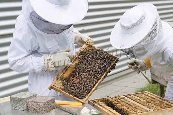 Человек, который не занимается пчеловодством, может путать разные виды пчел