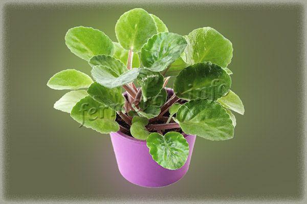 Если листья большие, красивые, ярко-зеленые, то причина отсутствия цветов в том, что фиалку перекормили удобрениями