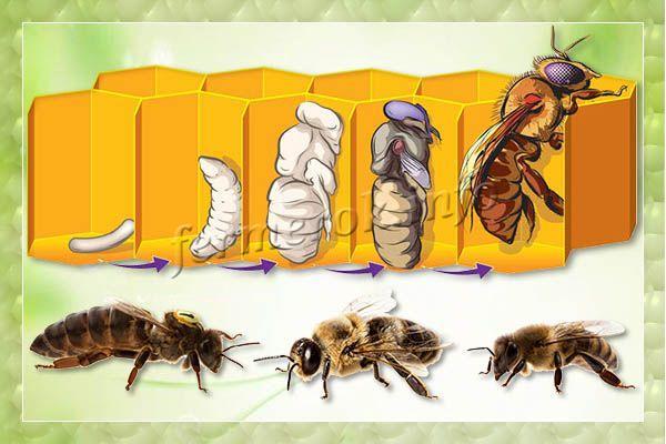 Формирование пчелиного расплода