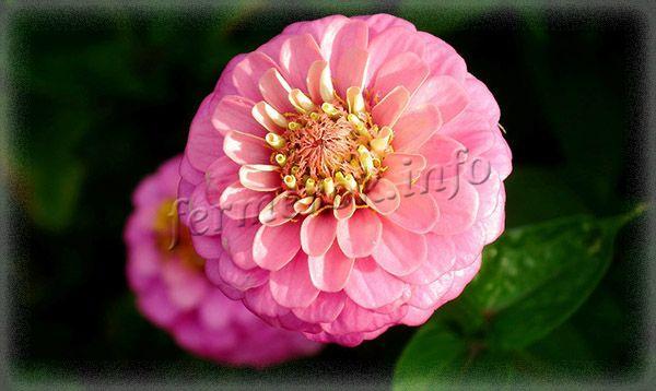 Фото Цинии георгиноцветной