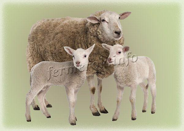 Фото Западно-сибирской породы овец