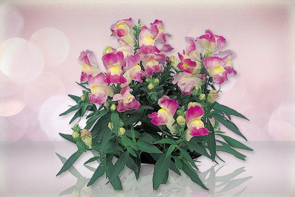 Фото львиного зева сорта Флорал (Floral)