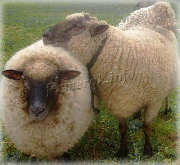 Фото породы овец Латвийская темноголовая