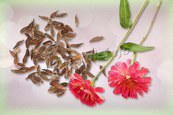 Фото цветка Цинии с семенами