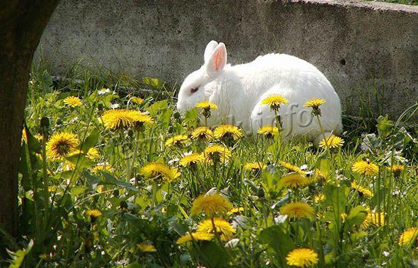 Хорошими помощниками в борьбе с одуванчиками могут быть кролики, для них одуванчики лакомство