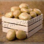 Сорт картофеля Коломбо