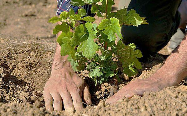 Место для винограда на участке стоит выбирать солнечное