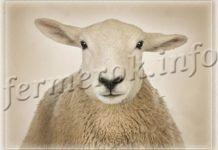 Мясные породы овец