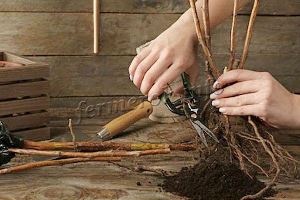 Перед посадкой необходимо подрезать корни
