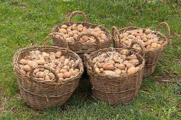 Перед тем как сажать, пророщенный картофель нужно обработать для дезинфекции