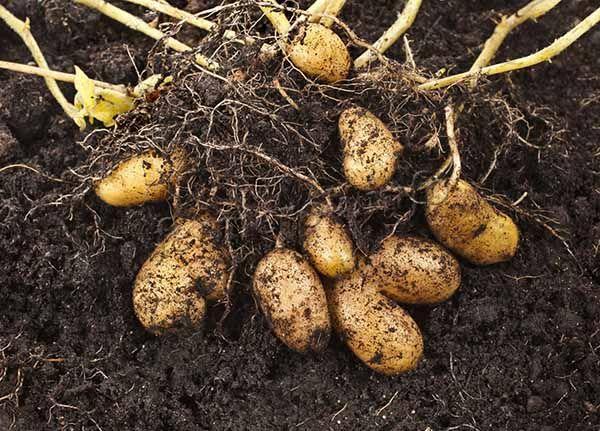 Под каждым кустиком при должных условиях созревает 10-14 картофелин