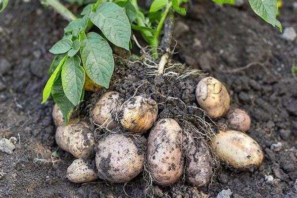 Под одним кустиком созревает по 10-25 картофелин среднего размера