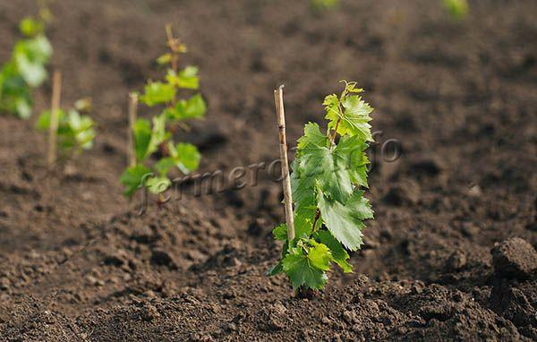 Посаженый саженец винограда необходимо оставить на неделю и не трогать
