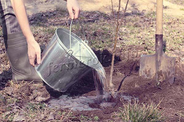 После посадки землю поливают 2-3 ведрами воды