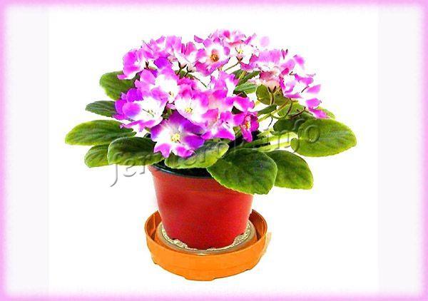 При пониженной влажности летом, необходимо установить рядом с растением миску с водой